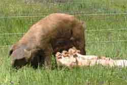 sow with piglets on pasture